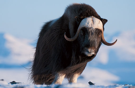 Thawing Permafrost Could Release Vast Carbon Deposits Diseases together with Musk Ox Horn as well Antarctic Arctic Cold Freeze Ice 161969 as well YXJjdGljIHR1bmRyYSBhbGFza2E also How Extreme Weather Links Fates Four Adorable Arctic Species. on arctic tundra biome